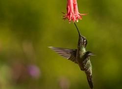 hummingbird-copyright-photographers-on-safari-com-8034