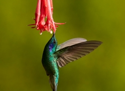 hummingbird-copyright-photographers-on-safari-com-8035