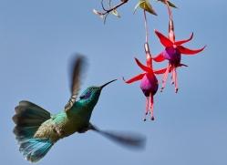 hummingbird-copyright-photographers-on-safari-com-8037