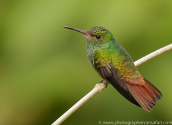 hummingbird-copyright-photographers-on-safari-com-8039