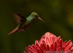 hummingbird-copyright-photographers-on-safari-com-8040