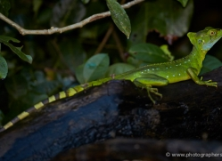 jesus-christ-lizard-5247-copyright-photographers-on-safari-com