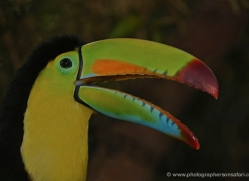 keel-billed-toucan-5101-copyright-photographers-on-safari-com