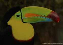 keel-billed-toucan-5102-copyright-photographers-on-safari-com