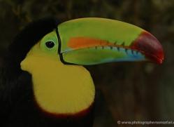 keel-billed-toucan-5102-copyright-photographers-on-safari-com