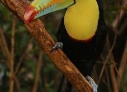 keel-billed-toucan-5105-copyright-photographers-on-safari-com