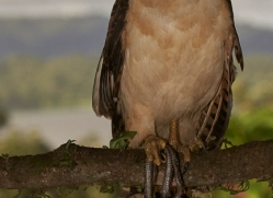 laughing-falcon-copyright-photographers-on-safari-com-8041