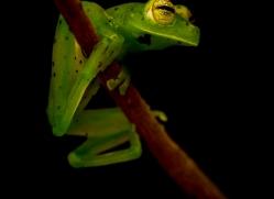 lemur-treefrog-5074-copyright-photographers-on-safari-com