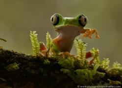 lemur-treefrog-5076-copyright-photographers-on-safari-com