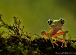 lemur-treefrog-5077-copyright-photographers-on-safari-com