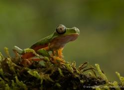 lemur-treefrog-5078-copyright-photographers-on-safari-com