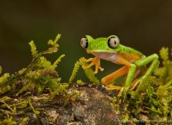 lemur-treefrog-5079-copyright-photographers-on-safari-com