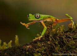lemur-treefrog-5080-copyright-photographers-on-safari-com