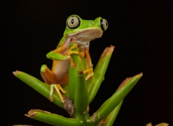 lemur-treefrog-5081-copyright-photographers-on-safari-com