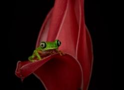 lemur-treefrog-5083-copyright-photographers-on-safari-com