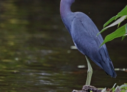 little-blue-heron-5208-copyright-photographers-on-safari-com