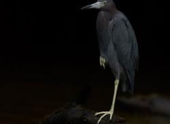 little-blue-heron-copyright-photographers-on-safari-com-8042