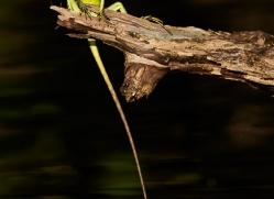 lizard-costa-rica-5261-copyright-photographers-on-safari-com