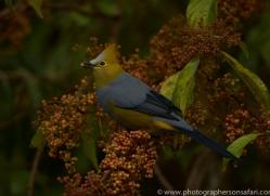 long-tailed-silky-flycatcher-copyright-photographers-on-safari-com-8043