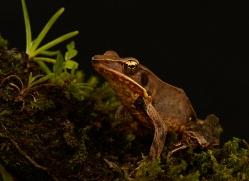 mexican-treefrog-copyright-photographers-on-safari-com-8044