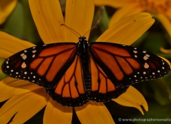 monarch-butterfly-5147-copyright-photographers-on-safari-com
