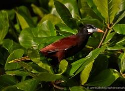 montezuma-oropendola-5293-copyright-photographers-on-safari-com