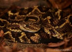 neo-tropical-rattlesnake-5233-copyright-photographers-on-safari-com