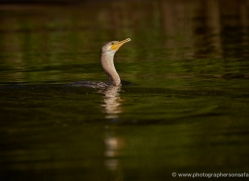 neotropic-cormorant-5313-copyright-photographers-on-safari-com