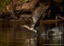 neotropic-cormorant-5314-copyright-photographers-on-safari-com