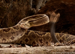 neotropical-rattlesnake-copyright-photographers-on-safari-com-8045