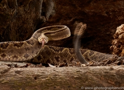neotropical-rattlesnake-copyright-photographers-on-safari-com-8047