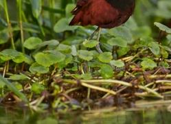 northern-jacana-5209-copyright-photographers-on-safari-com