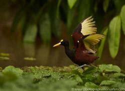 northern-jacana-copyright-photographers-on-safari-com-8048