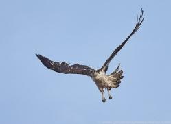 osprey-copyright-photographers-on-safari-com-8049