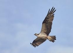 osprey-copyright-photographers-on-safari-com-8050