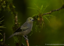 palm-tanager-5278-copyright-photographers-on-safari-com