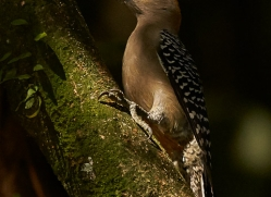 red-crowned-woodpecker-copyright-photographers-on-safari-com-8053