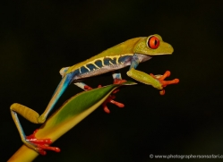 red-eyed-leaf-frog-5051-copyright-photographers-on-safari-com