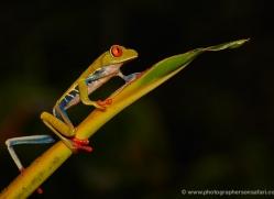 red-eyed-leaf-frog-5053-copyright-photographers-on-safari-com