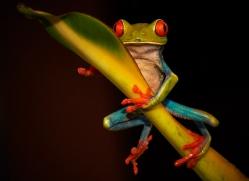 red-eyed-leaf-frog-5054-copyright-photographers-on-safari-com