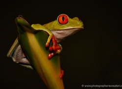 red-eyed-leaf-frog-5055-copyright-photographers-on-safari-com