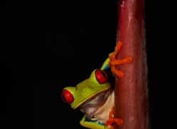 red-eyed-leaf-frog-5056-copyright-photographers-on-safari-com