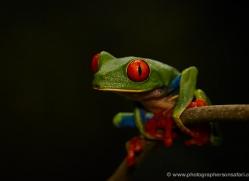 red-eyed-leaf-frog-5057-copyright-photographers-on-safari-com