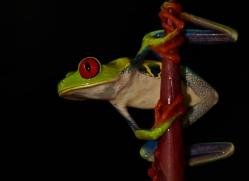 red-eyed-leaf-frog-5059-copyright-photographers-on-safari-com