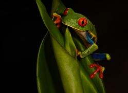 red-eyed-leaf-frog-5061-copyright-photographers-on-safari-com