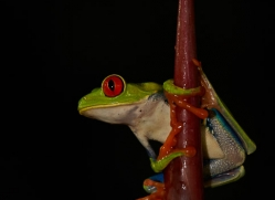 red-eyed-leaf-frog-5063-copyright-photographers-on-safari-com