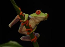 red-eyed-leaf-frog-5073-copyright-photographers-on-safari-com