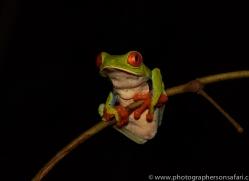 red-eyed-treefrog-copyright-photographers-on-safari-com-8054