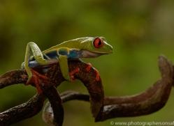 red-eyed-treefrog-copyright-photographers-on-safari-com-8055