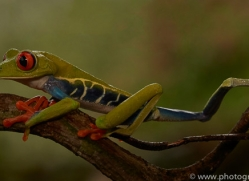 red-eyed-treefrog-copyright-photographers-on-safari-com-8056